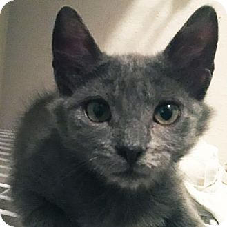 Domestic Shorthair Kitten for adoption in Austin, Texas - Wella