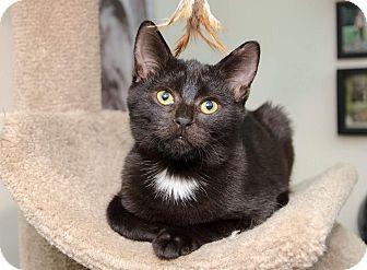 Domestic Shorthair Kitten for adoption in Columbus, Ohio - Shep