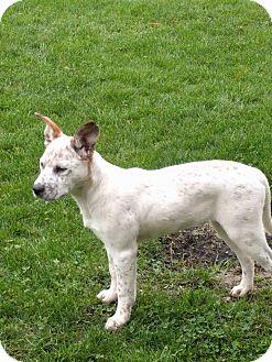 Cattle Dog/Boxer Mix Puppy for adoption in Caro, Michigan - Allie