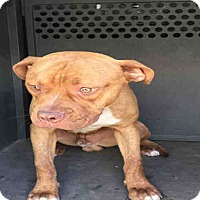Adopt A Pet :: A085674 is @ King County - Beverly Hills, CA