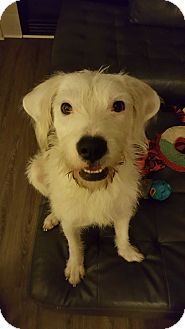 Old English Sheepdog/Terrier (Unknown Type, Medium) Mix Dog for adoption in Florence, Kentucky - Jack