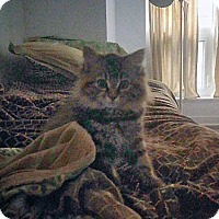 Domestic Mediumhair Cat for adoption in Mississauga, Ontario, Ontario - Brianna