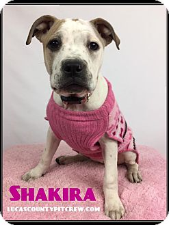 American Pit Bull Terrier/American Bulldog Mix Puppy for adoption in Toledo, Ohio - Shakira