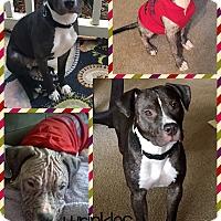 Adopt A Pet :: Kira - Harrisville, RI