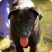 Adopt A Pet :: Barley - Middleburg, FL