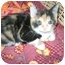 Photo 1 - Calico Kitten for adoption in Etobicoke, Ontario - little girls