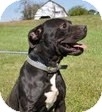 American Pit Bull Terrier Mix Dog for adoption in Staatsburg, New York - Zeus- crosspost