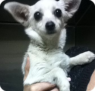 Chihuahua Mix Dog for adoption in Canoga Park, California - Lacy
