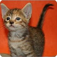 Adopt A Pet :: JOSIE - SILVER SPRING, MD