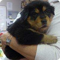 Adopt A Pet :: Sheba - Manning, SC