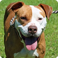 American Staffordshire Terrier Mix Dog for adoption in Newport, North Carolina - Sadie
