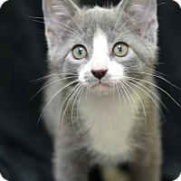 Adopt A Pet :: Nugget160946 - Atlanta, GA