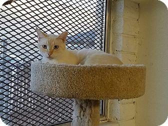 Siamese Cat for adoption in Phoenix, Arizona - WASHINGTON