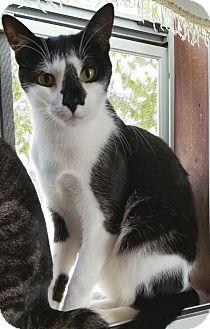 Domestic Shorthair Cat for adoption in Philadelphia, Pennsylvania - Juniper