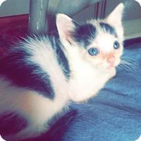 Adopt A Pet :: A391309 Moo Moo - San Antonio, TX
