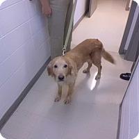 Adopt A Pet :: Goldie-prison trained - Hazard, KY
