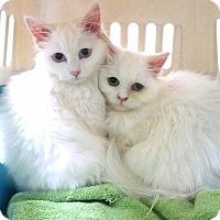 Adopt A Pet :: Hera, Asteria, Athena - Sherman Oaks, CA