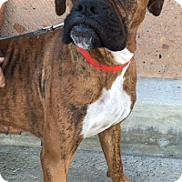 Boxer Mix Dog for adoption in Dana Point, California - Evie