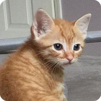 Domestic Shorthair Kitten for adoption in Austin, Texas - Quickstar