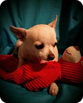 Chihuahua Mix Dog for adoption in San Antonio, Texas - Elijah