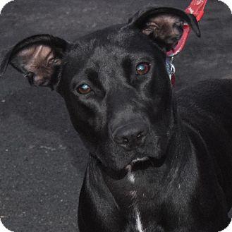 Labrador Retriever Mix Dog for adoption in Minneapolis, Minnesota - Ronda