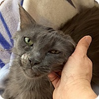 Domestic Longhair Cat for adoption in Phoenix, Arizona - Bluebell