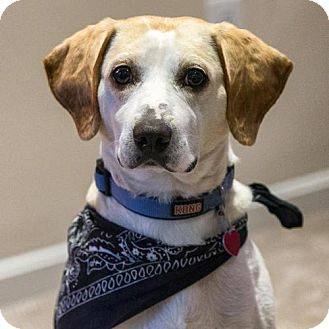 Hound (Unknown Type)/Labrador Retriever Mix Dog for adoption in Arlington, Virginia - Ryder