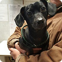 Adopt A Pet :: Bandit (Lil Weeyne) - Angola, IN