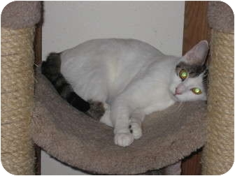Turkish Van Cat for adoption in Huffman, Texas - Tess