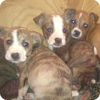 American Pit Bull Terrier/Chihuahua Mix Puppy for adoption in Silver Lake, Wisconsin - Daphne