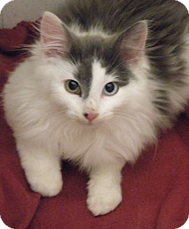 Domestic Longhair Kitten for adoption in Medford, Massachusetts - Motmot