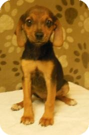 Beagle/Chihuahua Mix Puppy for adoption in Gary, Indiana - Tommy