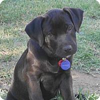 Adopt A Pet :: Dexter - Torrance, CA