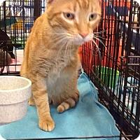Domestic Shorthair Cat for adoption in Houston, Texas - Michaelangelo