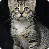 Adopt A Pet :: Colt160319 - Atlanta, GA