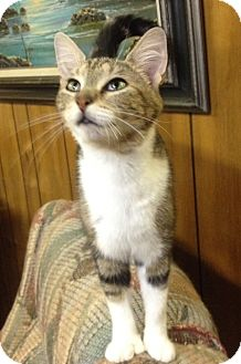 Polydactyl/Hemingway Cat for adoption in Covington, Kentucky - Polli