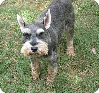 Miniature Schnauzer Dog for adoption in Lenoir, North Carolina - BARNEY (SRC#1811) IN NC