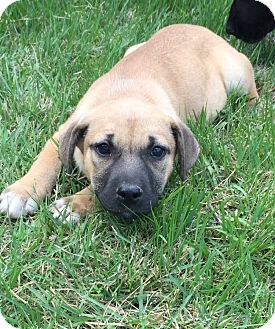 Boxer/Shepherd (Unknown Type) Mix Puppy for adoption in Kittery, Maine - Roul