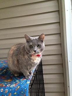 Domestic Shorthair Cat for adoption in Orlando, Florida - Lilac (IL) 2.14.10