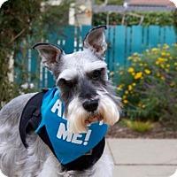 Adopt A Pet :: Chloe Schnauzer - Pacific Grove, CA