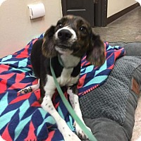 Hound (Unknown Type) Mix Dog for adoption in Whitestone, New York - Jojo