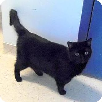 Domestic Shorthair Cat for adoption in Janesville, Wisconsin - Pegasus