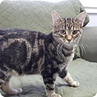 Domestic Shorthair Kitten for adoption in Hawk Point, Missouri - Jersey