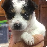 Adopt A Pet :: Prince - Batesville, AR