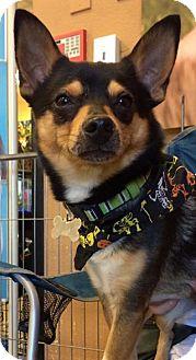 Shiba Inu/Chihuahua Mix Dog for adoption in Phoenix, Arizona - Ike