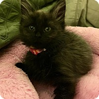 Domestic Longhair Kitten for adoption in Livonia, Michigan - C24 Litter-Hazel-ADOPTED