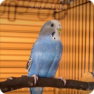 Parakeet - Other for adoption in Sheboygan, Wisconsin - Sky Blue