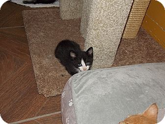 Domestic Shorthair Kitten for adoption in Tampa, Florida - Cappy