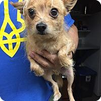 Adopt A Pet :: Mr. Claus - Aurora, IL