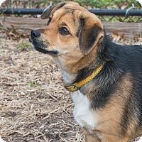 Adopt A Pet :: Ashton - Elmwood Park, NJ
